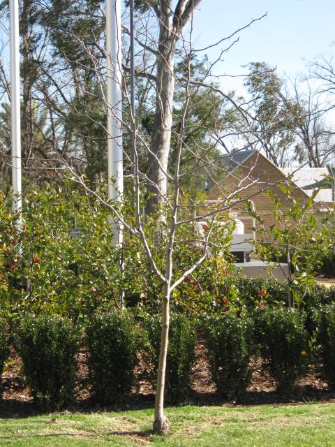 Albury City Council established tree planting - 1