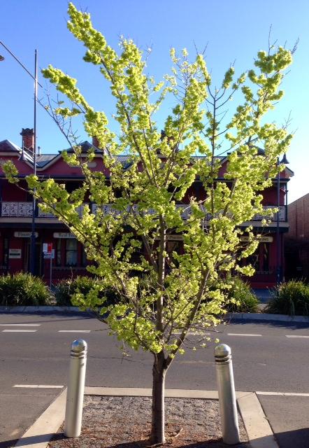 Albury City Council established tree planting - 4