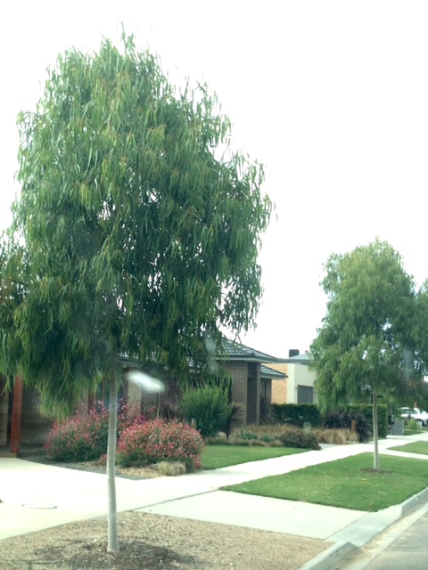 warralily geelong established trees - 6