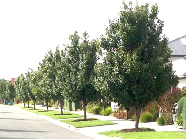 warralily geelong established trees - 7