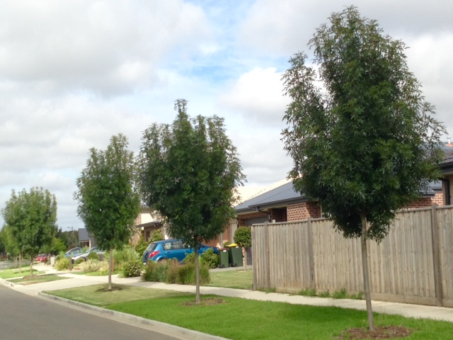 warralily geelong established trees - 2