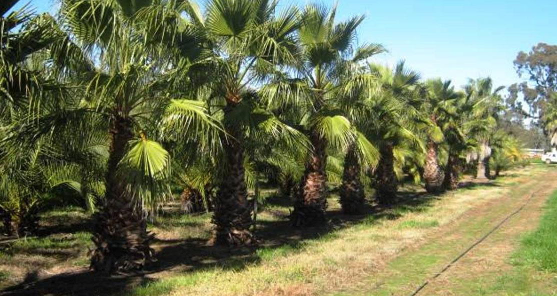 Echuca established trees nursery