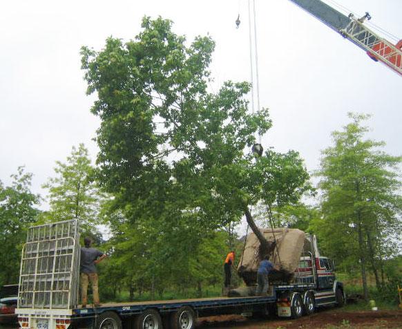 transplanting established trees