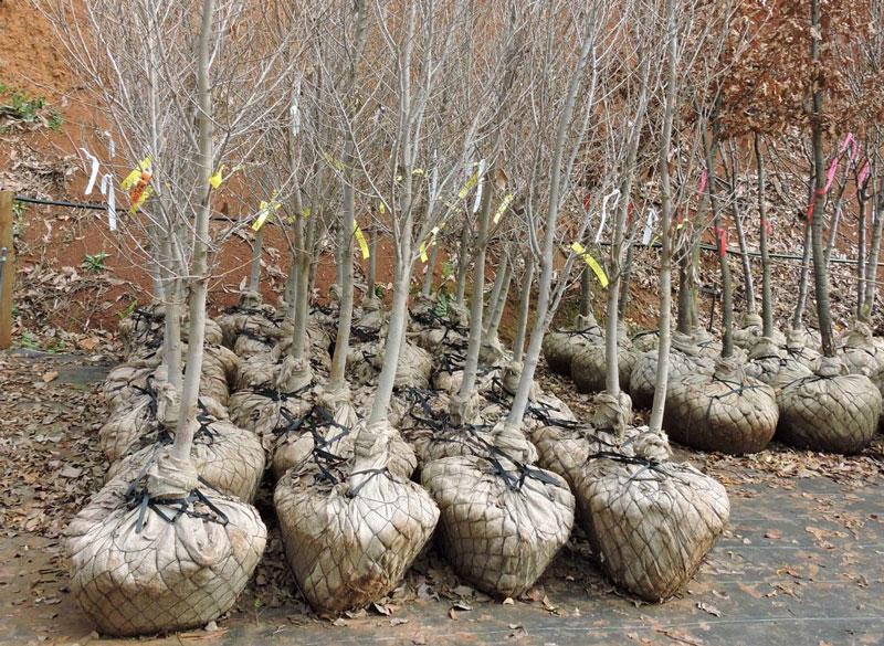 nursery tree stock